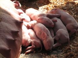 Newborn Piglets OC Fair 2006