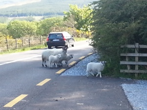 When Driving Be Careful Not To Hit Any Sheep