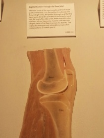 Cross Section of Knee Joint