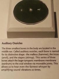 Smallest Bones in Body - Ear Bones
