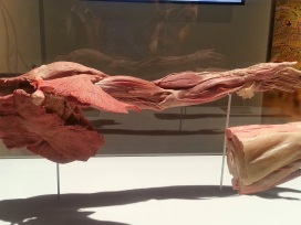 Human Leg All Muscle