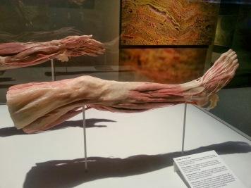 Human Leg Fat and Muscle