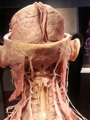 Human Head Structure Attached to Spinal Chord