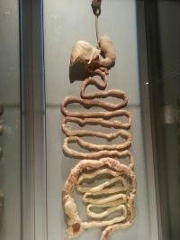 Intestines - Digestive Processes