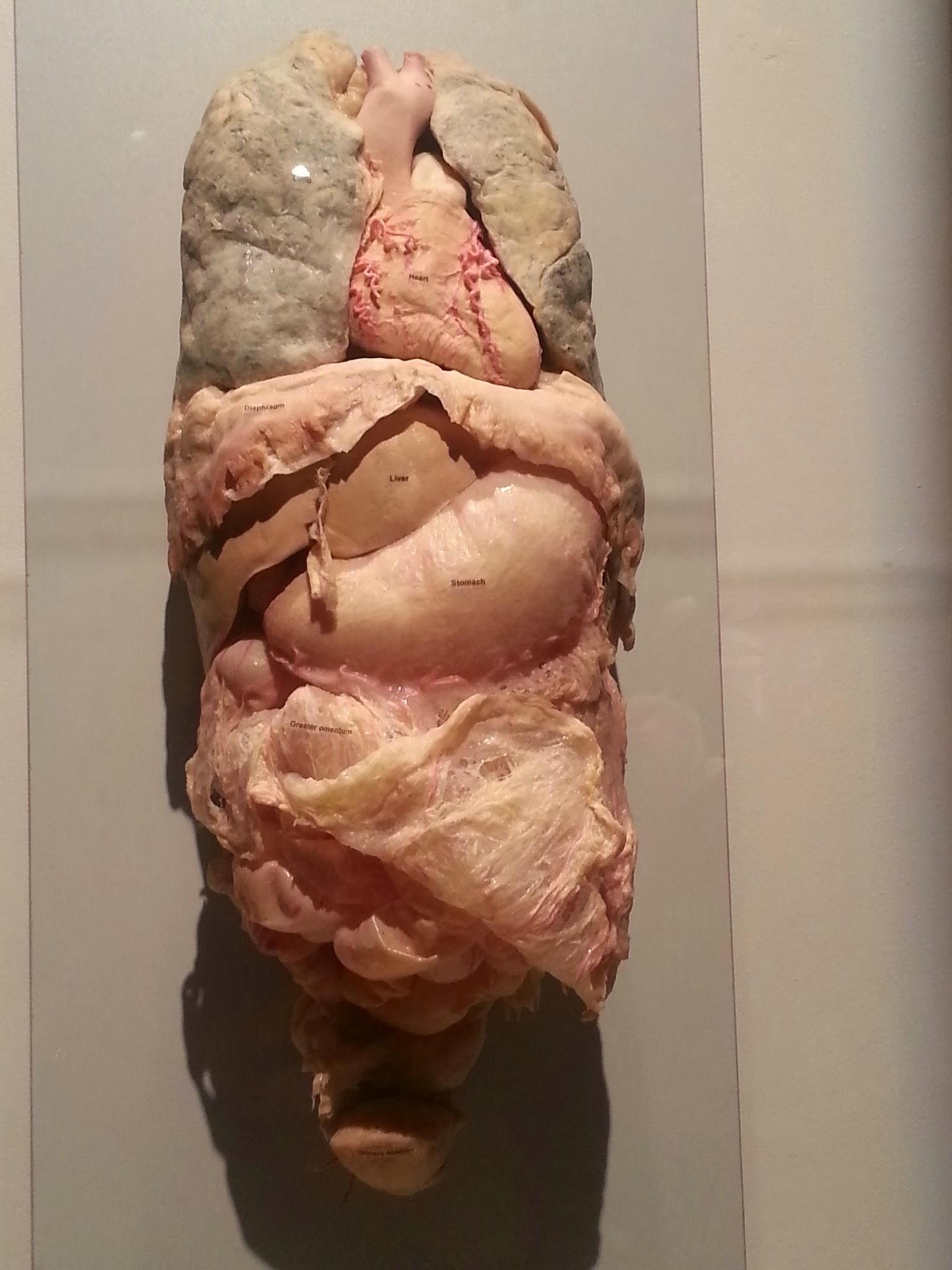 Real Human Internal Organs