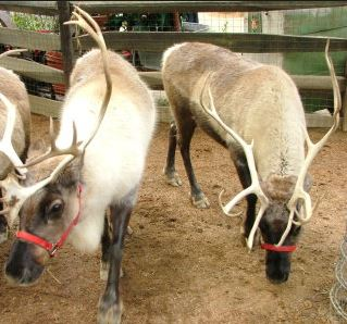 Disneyland Holidays Reindeers in the Big Thunder Ranch Area